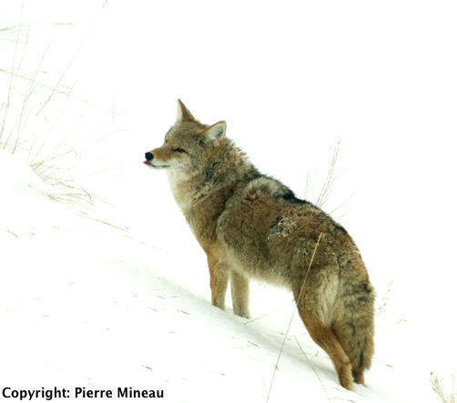 Coyote_Small_size