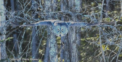 Great grey owl on the hunt_Lighter2