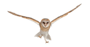 Barn Owl, Tyto alba, 4 months old, portrait flying against white background