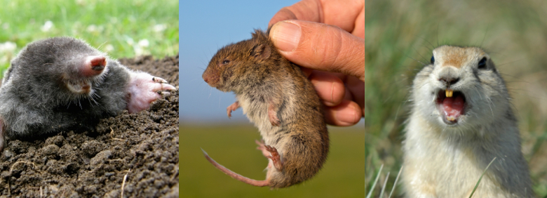 Gopher Mole And Vole Control